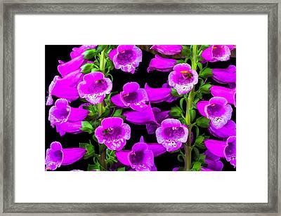Deep Purple Foxglove Framed Print