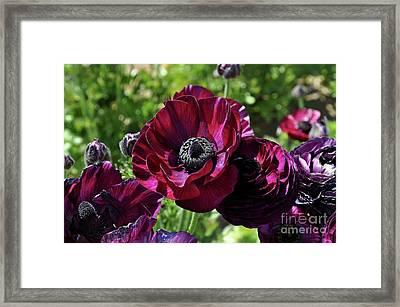 Deep Ranunculus Framed Print
