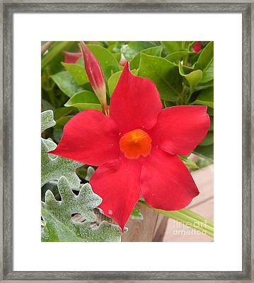 Mandevilla Deep Red Flower Framed Print