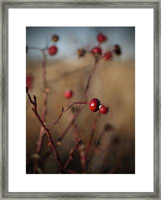 Deep Red Rose Hips On Brown And Blue Framed Print by Brooke T Ryan