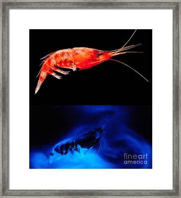 Deep Sea Shrimp With Luminous Cloud Framed Print by Dant� Fenolio