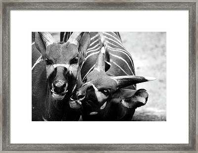 Deer  Framed Print by Alessia Cerqua