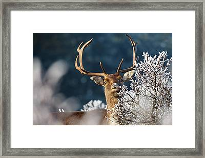 Deer And Hoar Frost Framed Print by Roeselien Raimond