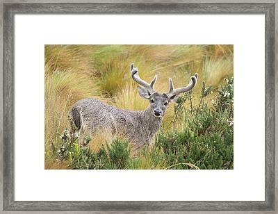 Deer And Native Vegetation Ecuador Framed Print