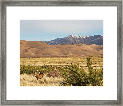 Framed Print featuring the photograph Deer And The Colorado Sand Dunes by James BO Insogna