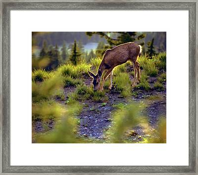 Deer At Crater Lake, Oregon Framed Print