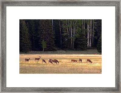 Deer At Kaibab Meadows Framed Print by Neil Doren