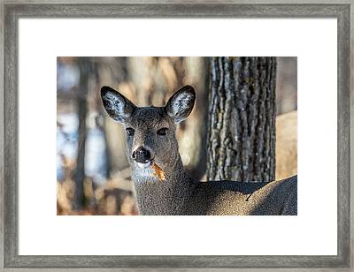 Framed Print featuring the photograph Deer At The Salad Bar by Paul Freidlund