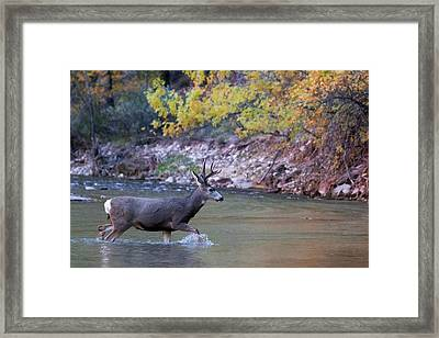 Framed Print featuring the photograph Deer Crossing River by Wesley Aston