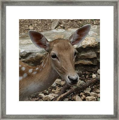Deer Framed Print by Dennis Stein