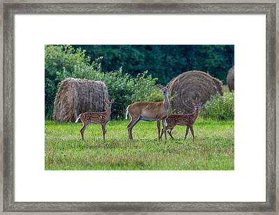Deer In A Hay Field Framed Print by Paul Freidlund