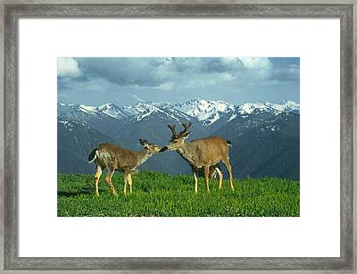 Ma-181-deer In Love  Framed Print