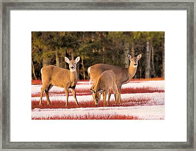 Deer In Snow Framed Print