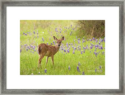 Deer In The Bluebonnets Framed Print
