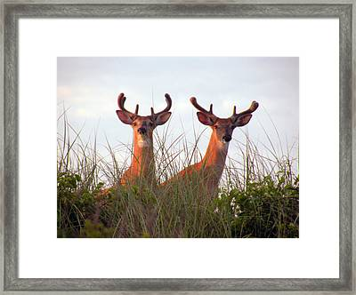 Deer In The Dunes Framed Print by Donald Cameron