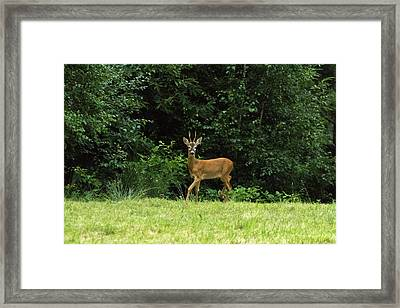 Deer In The Woods Framed Print