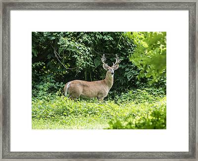 Eastern White Tail Deer Framed Print