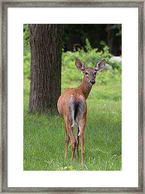 Deer Looking Back Framed Print