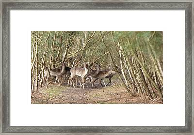 Deer Walking Across Forest Path Framed Print by Richard Griffin