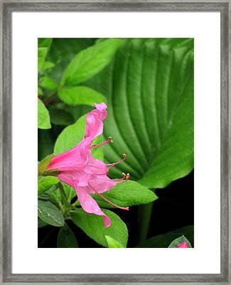 Delicate 2 Framed Print by Deborah  Crew-Johnson