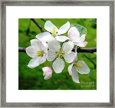 Delicate Apple Blossoms Framed Print