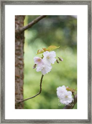 Delicate Blossom Framed Print by Tim Gainey