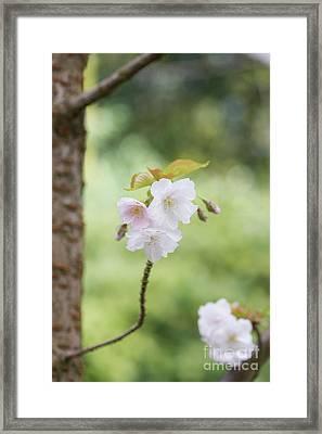 Delicate Blossom Framed Print