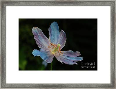 Delicate Blue Framed Print