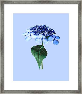 Delicate Blue Lacecap Hydrangea Framed Print by Susan Savad