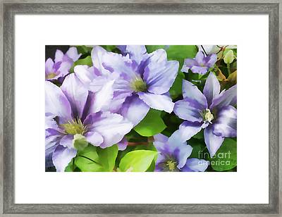 Delicate Climbing Clematis  Framed Print by Judy Palkimas