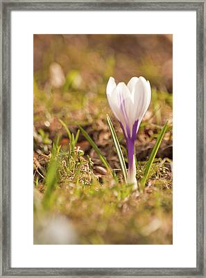 Framed Print featuring the photograph Delicate Crocus by Christine Amstutz