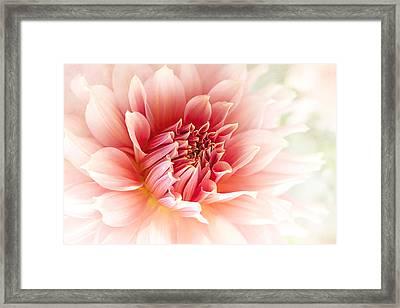 Delicate Dahlia Framed Print