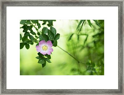 Delicate Dog Rose Framed Print by Tim Gainey