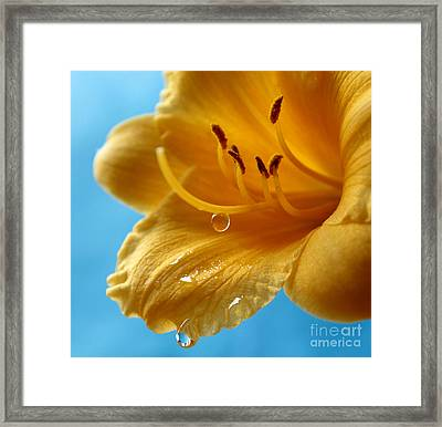Delicate Lily Framed Print by Krissy Katsimbras