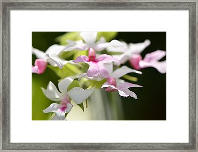Delicate Orchids By Sharon Cummings Framed Print by Sharon Cummings