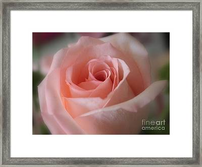 Delicate Pink Rose Framed Print by Carol Groenen