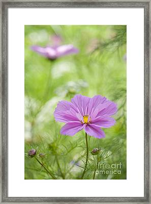 Delicate Pink Framed Print by Tim Gainey