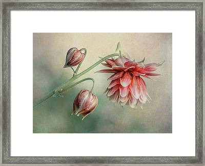 Delicate Red Columbine Framed Print