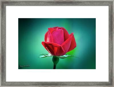 Delicate Rose Petals Framed Print