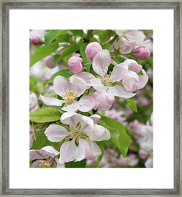 Delicate Soft Pink Apple Blossom Framed Print by Gill Billington