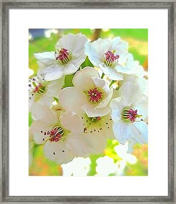 Delicate White Blossoms Framed Print by Beth Akerman