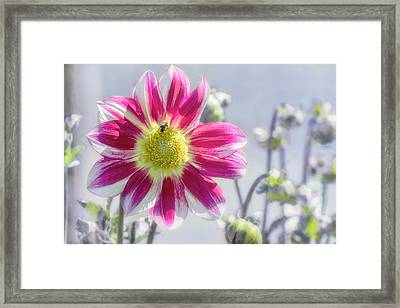Framed Print featuring the photograph Delicious Dahlia by Belinda Greb