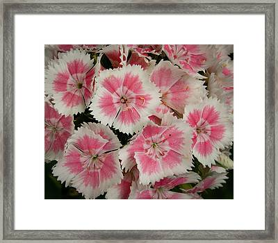 Framed Print featuring the photograph Delightful Dianthus by Jean Noren