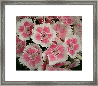 Delightful Dianthus Framed Print