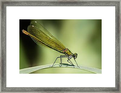 Demoiselle Framed Print by Ian Hufton