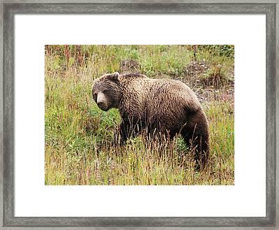 Denali Grizzly Framed Print
