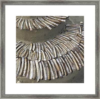 Denmark, Romo, Seashells, Razor Clams Framed Print by Keenpress