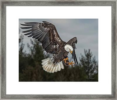 Descending Eagle Framed Print by CR  Courson