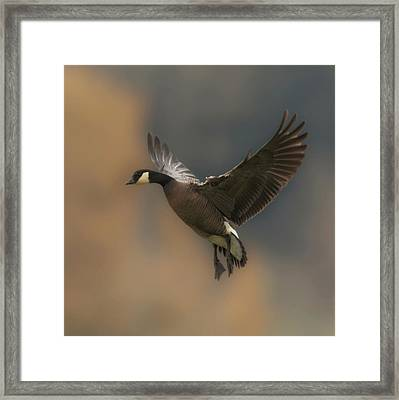 Framed Print featuring the photograph Descending Goose by Angie Vogel