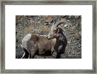 Desert Big Horn Sheep Framed Print by Webb Canepa